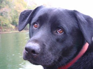 black dog with sweet expression wearing red collar